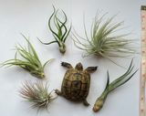 2x Shelled Warriors Air Plant FREE POST